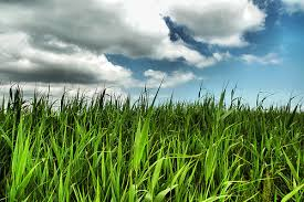 Why, Government, here is some convenient long grass